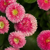 Pink English Daisies
