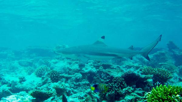 Blacktip reef Shark, Carcharhinus melanopterus