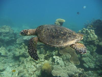 Hawksbill turtle, Eretmochelys imbricata  Nosy Tanikely