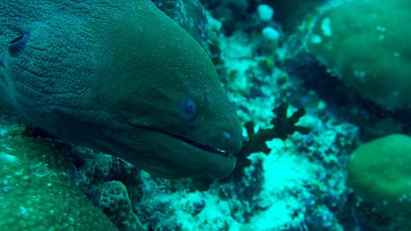 Undulate Moray, Gymnothorax undulatus