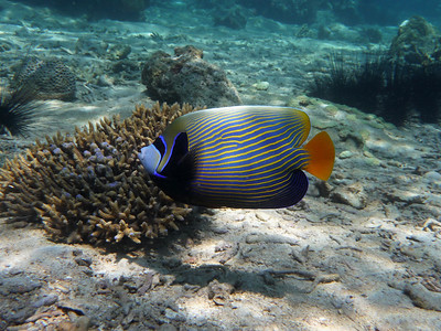 Emperor Angelfish, Pomacanthus imperator  Nosy Tanikely