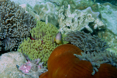 Skunk Anemonefish, Amphiprion akallopisos  Nosy Tanikely