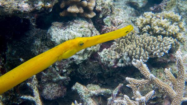 Trumpetfish, Aulostomus chinensis