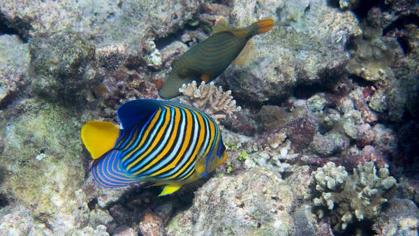 Royal angelfish, Pygoplites diacanthus