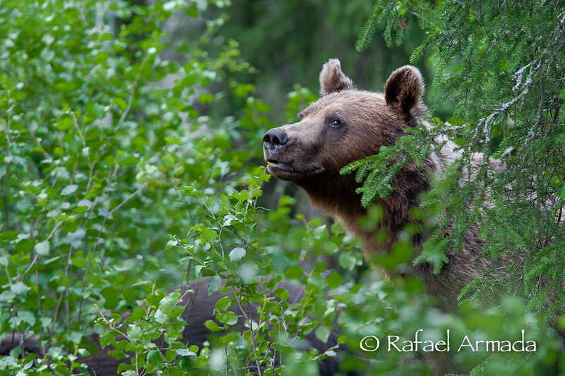 Brown Bear (Ursus arctos)<br /> Finland, July 2004<br /> Esp: Oso pardo<br /> Cat: Ós bru