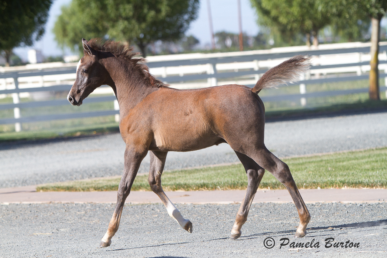 37.#4599 Shanghai EA colt out of Erotika PSAB