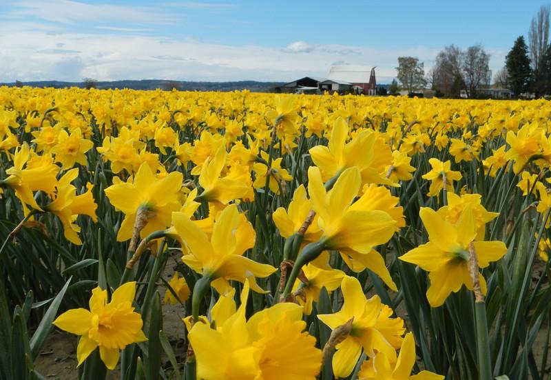 Skagit County daffodil fields