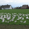 Snow geese in the fields