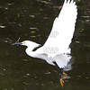 Flying Snowy Egret (Egretta thula); native to North, Central and South America.