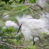 Snowy Egret (Egretta thula) displaying its feathers to attract a mate.  Upper bill is red to show it is ready to breed.