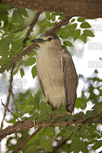 Black-crowned Night Heron or Night Heron (Nycticorax nycticorax) at the Jacksonville Zoo and Gardens.