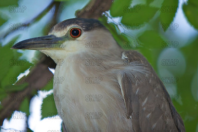 Close-up of a Black-crowned Night Heron or Night Heron (Nycticorax nycticorax)at the Jacksonville Zoo and Gardens.