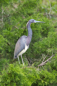A Tricolored Heron or Louisiana Heron (Egretta tricolor) awaits its mate to return with nest material.