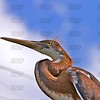 Tricolored Heron Fledging