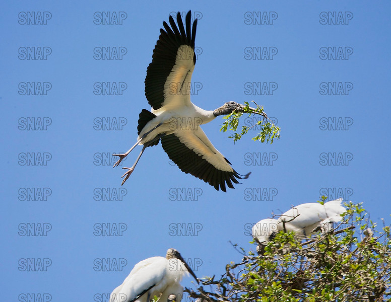 A Wood Storks (Mycteria americana) brings a twin to add to a nest.