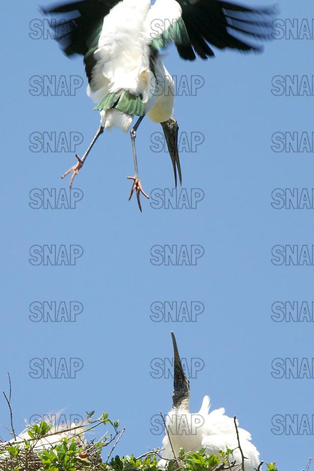 A Wood Stork (Mycteria americana) lands in its nest.