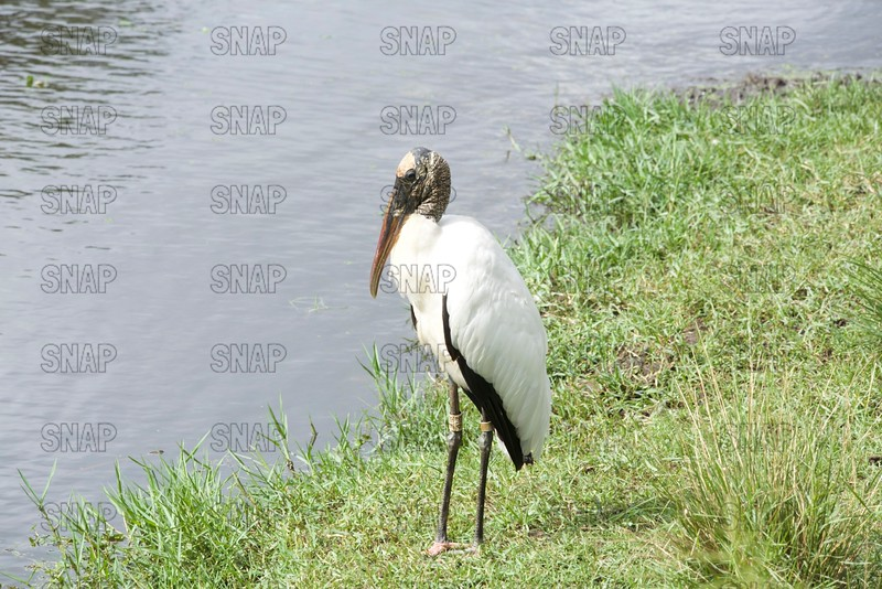 Wood Stork, Immature