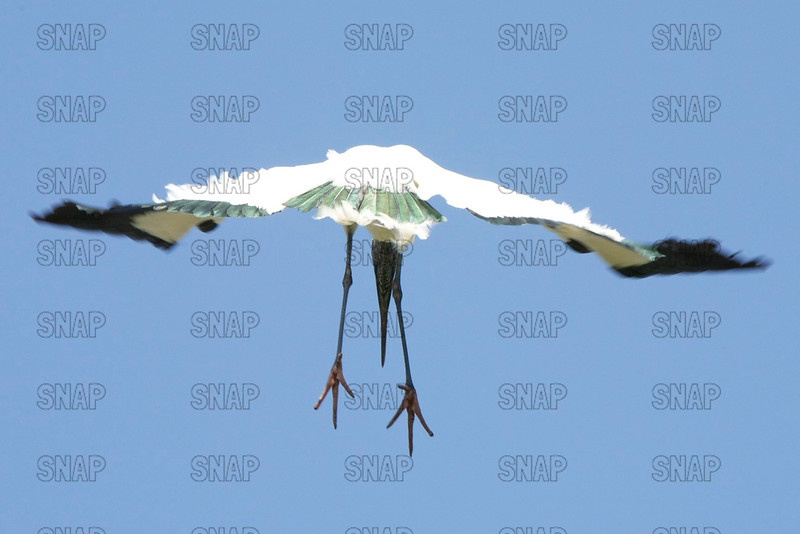 A Wood Stork (Mycteria americana) comes in for a landing.