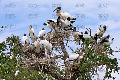 Wood Storks (Mycteria americana) nesting in a tree top.