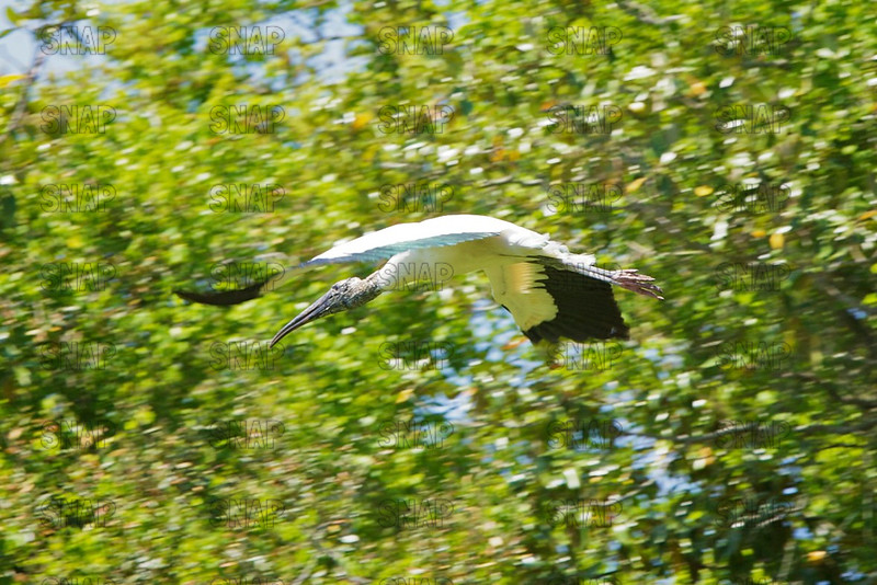 A Wood Stork (Mycteria americana) glides to its nest.