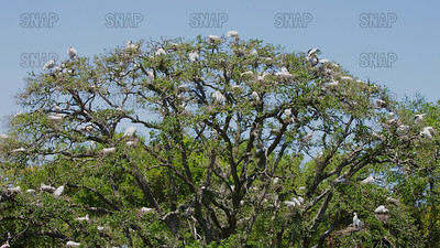 A tree full of Wood Stork (Mycteria americana) nests and St. Augustine, Florida.