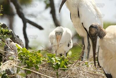 Wood Storks & Nestlings