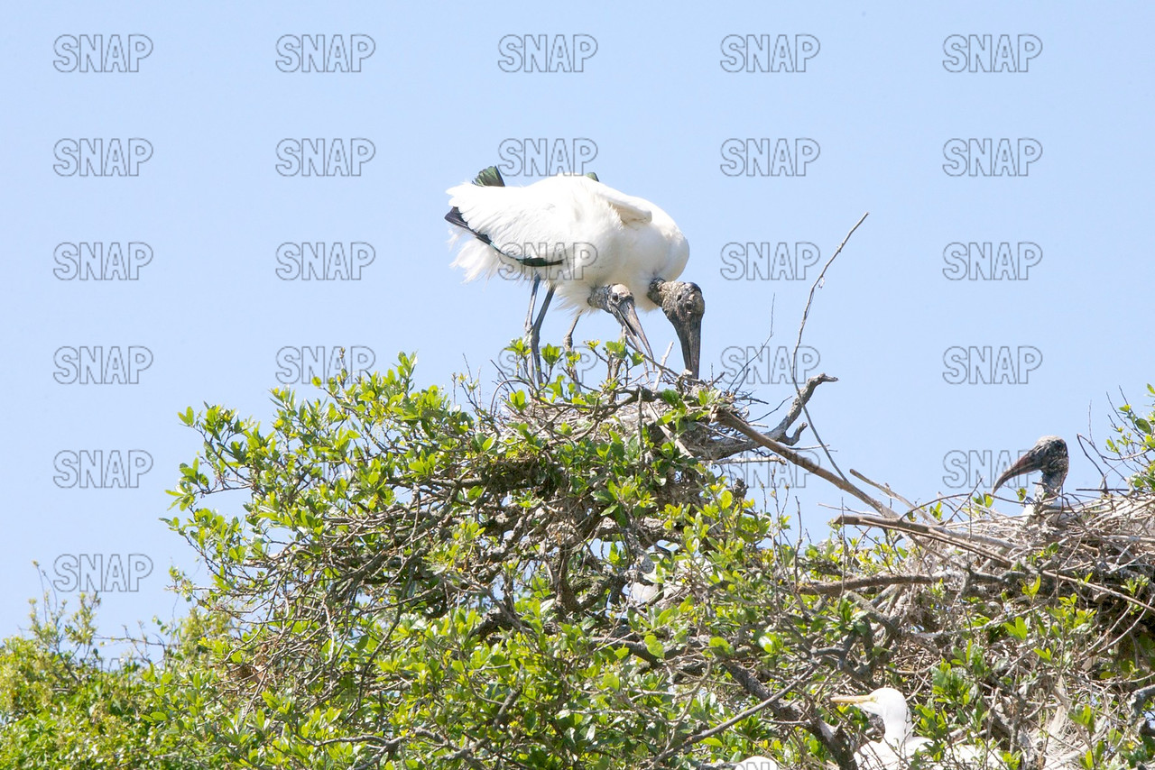 A pair of Wood Storks (Mycteria americana) build a nest.