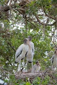 Young nestling Wood Storks (Mycteria americana).