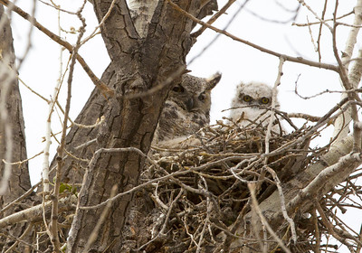 Owls Mother chick C0089