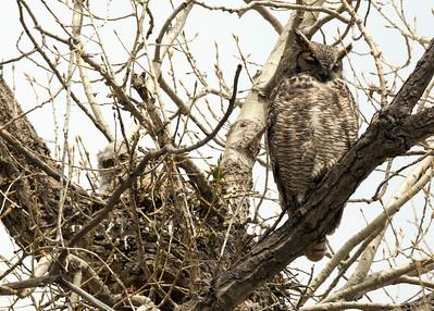 Owls C0062