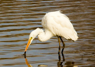 GreatEgret eating C9942