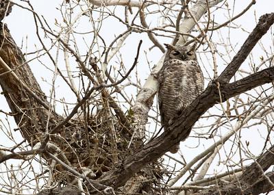 Owl C0058