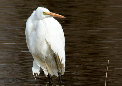 GreatEgret C9964