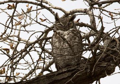 Owl C0051