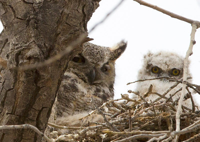 Owls Mother chick close C0089
