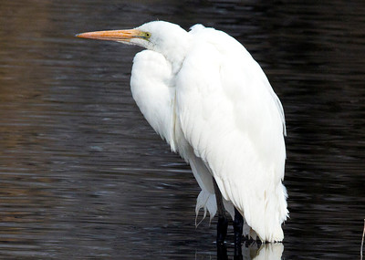 GreatEgret C9974