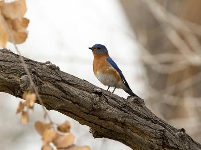bluebird C9995
