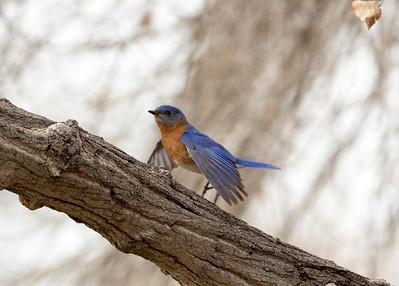 Bluebird C9993