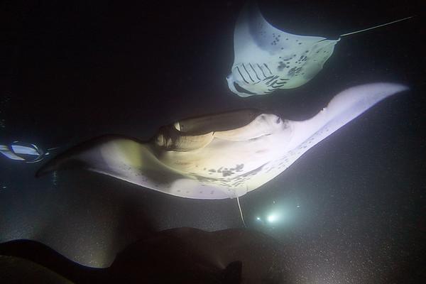 Manta Ray Dive 2