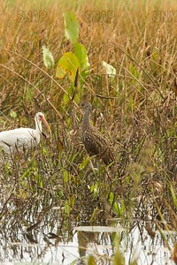 Limpkin (Aramus guarauna), also called carrao, courlan, and crying bird, with an American white ibis (Eudocimus albus) by its side.