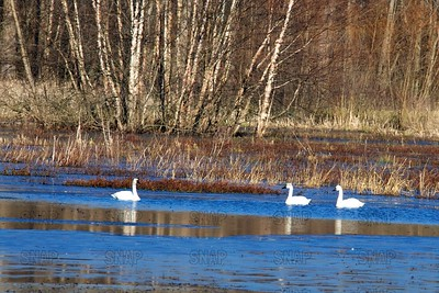 Tundra Swans (Cygnus columbianus) at the Muscatatuck NWR 12/16/17.
