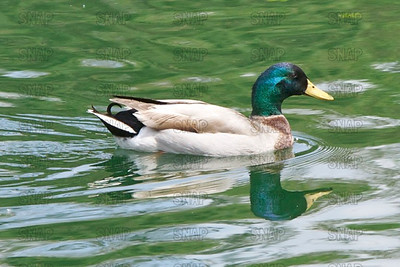 Mallard (Anas platyrhynchos), Wild Duck; native to the U.S.