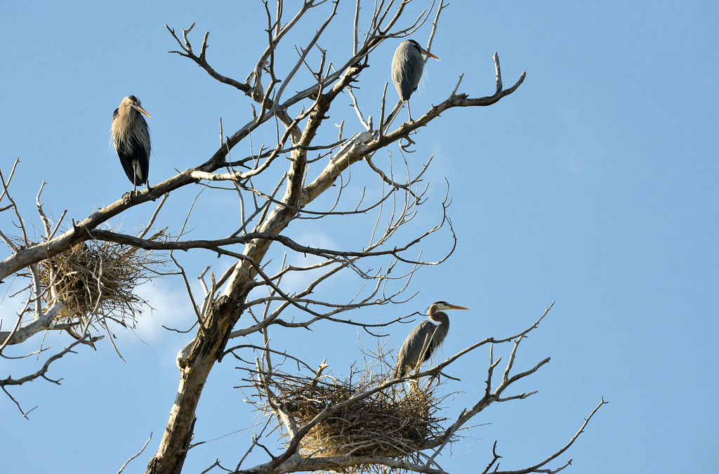 Justin Sheely | The Sheridan Press<br /> Great Blue Herons return to their seasonal nesting area in Sheridan on Tuesday. Sheridan County sees many winged visitors in the spring, including Sandhill Cranes.