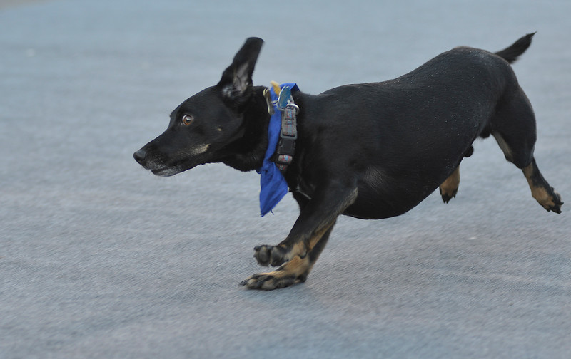 Justin Sheely | The Sheridan Press<br /> A dog competes in the Oscar Mayer division race during the annual Wiener Dog Race at Black Tooth Brewing Company Tuesday, June 12, 2018. The event was hosted for the sixth year by Muddy Paw Prints Pet Supplies.