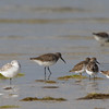 least sandpiper, sanderling, western sandiper, yellow legs, Florida, April