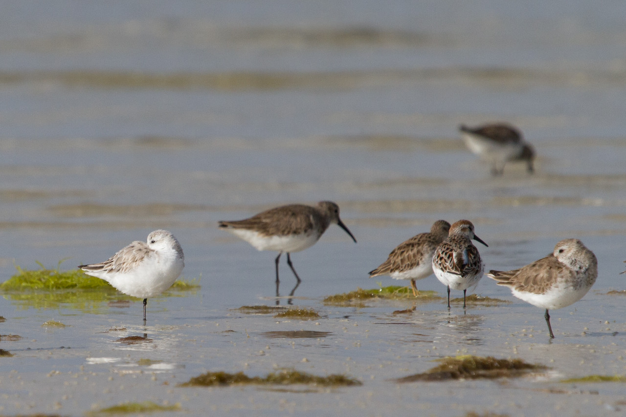 least sandpiper, sanderling, western sandiper, yellow legs, Florida, April