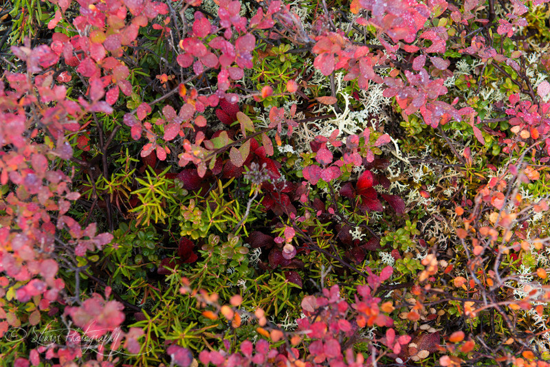 Bright red arctic tundra in the fall - Denali NP, AK
