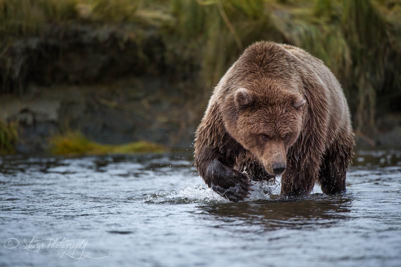Focus, focus, focus - Silver Salmon Creek, Lake Clark NP, AK
