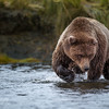 Focus, focus, focus - Silver Salmon Creek, Lake Clark NP, AK