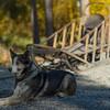 The working sled dogs of Denali - Denali NP, AK